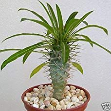 Pachypodium lamerei (Madagascar Palm) | World of Succulents