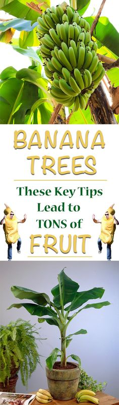 Banana Trees: Tips and Tricks for Tons of Fruit We are revealing the secrets to growing tons of bananas at home. Banana trees can be kept indoors in containers and outdoors and it only takes a few simple steps to achieve a large harvest of bananas. Growing Fruit Trees, Fast Growing Trees, Fruit Tree Garden, Garden Trees, Backyard Trees, Potted Trees, Trees To Plant, Flowering Trees, Grow Banana Tree