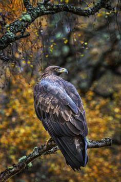 Golden Eagle by Paul Keates