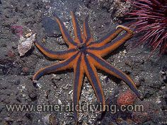 """Stimpson's Sun Star - Solaster stimpsoni - Washington State - feeds on sea squirts and sea cucumbers.  Grows to 22"""""""