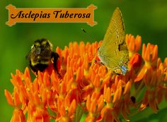 Asclepias tuberosa has brilliant orange milkweed blooms that attract a variety of butterflies and other beneficial pollinators right to your garden gates. Get more info and find out if this milkweed grows in your region...
