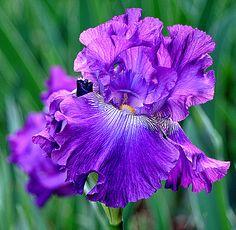 Ruffled Iris