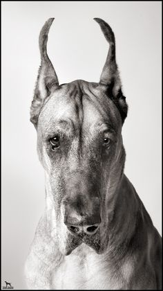 Great Dane (secretly my 1st choice for family pet but I think he'd grow bigger & faster than my boys so he's 2nd for now...)