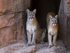 Desert Mountain Lions