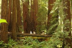 Muir Woods, California. 1,000 year old Coast Redwood forest.