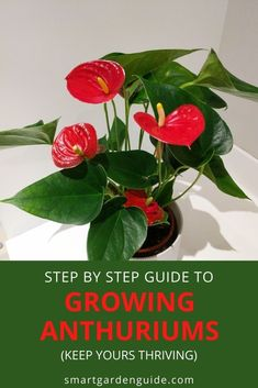 Complete guide to Anthurium care. Learn to keep your Anthurium houseplants healthy year after year. These stunning flowering houseplants can provide color in your home all year round, and they're not hard to look after at all. Indoor Flowering Plants, Blooming Plants, Indoor Gardening, Gardening Tips, Anthurium Care, Flamingo Flower, Smart Garden, House Plant Care, Garden Guide