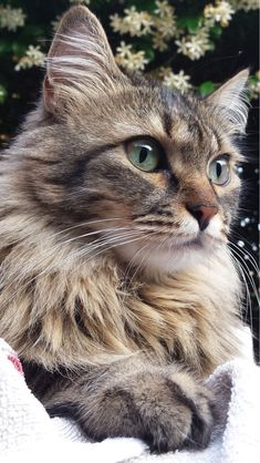 These pretty cats will warm your heart. Cats are incredible creatures. Cute Cats And Kittens, Baby Cats, Cool Cats, Kittens Cutest, Ragdoll Kittens, Bengal Cats, Siamese Cat, Pretty Cats, Beautiful Cats