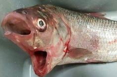 A fish with two mouths has been caught in South Australia. It looks as surprised about it as we are.
