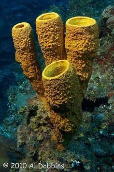 ˚Yellow Tube Sponge (Aplysina fistularis)