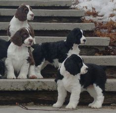 """Explore our site for even more relevant information on """"cocker spaniels"""". It is a superb spot to get more information. Springer Spaniel Puppies, English Springer Spaniel, Cocker Spaniel, Puppies And Kitties, Cute Puppies, Cute Dogs, Doggies, Spaniel Breeds, Dog Breeds"""