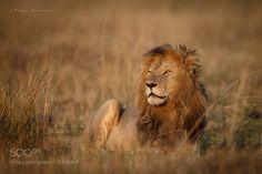 Lion by riyazquraishi #animals #animal #pet #pets #animales #animallovers #photooftheday #amazing #picoftheday