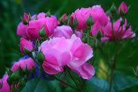 John Davis Roses