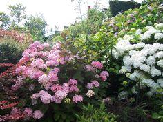 Hydrangea 'Preziosa' and 'Annabelle'