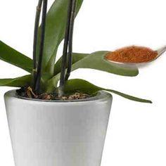 Echa un poco de canela a tus plantas #abono #plantas #canela