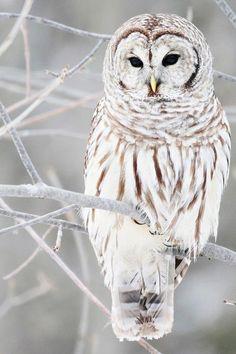 A beautiful white owl