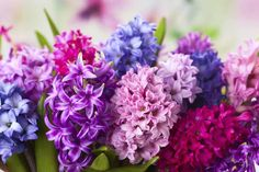 How to plant potted hyacinths. Are one of the spring flowers that are often forced into bloom early. It is a welcome flower, signaling the beginning of another growing season, and many stores sell magnificent in bloom with fragrance that fills a List Of Flowers, Types Of Flowers, Fall Blooming Flowers, Spring Flowers, Palmers Garden Centre, Blue Plants, Star Of Bethlehem, Flower Meanings, Spring Plants