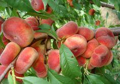 Garden Design, Gardening, Raw Vegan, Peaches, Trees, Lifestyle, Spring, Google, Garden