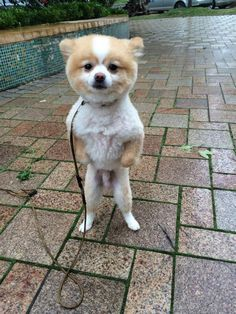 Doggy gets upset over his new haircut, walks around on hind legs like a boss for twodays
