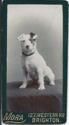 c.1890s photograph of jaunty little white terrier with brown patch on his left ear and eye. Photo by Mora, 127 Western Rd., Brighton. From bendale collection