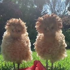 Funny Animal Memes Of The Day – 30 Pics - Lovely Animals World Fancy Chickens, Chickens Backyard, Urban Chickens, Funny Animal Memes, Funny Animal Videos, Videos Funny, Funny Memes, Beautiful Chickens, Animals Beautiful