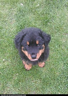 Rottweiler Puppy. I really want one! They are so handsome and so loyal. And just look at the face!