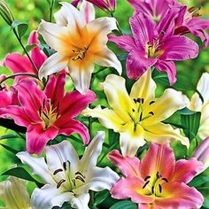 Eye - catching Lily Trees deliver massive, upward - facing flowers with vivid color, fragrance and exceptional dependability for about 3 weeks in mid summer.