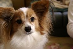 Papillon | The Definitive Ranking Of Dog Breeds