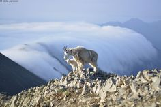 Two mountain goats stand atop Sacagawea Peak, the highest in Montana's Bridger Range, at sunrise. Photograph by Cole Janssen