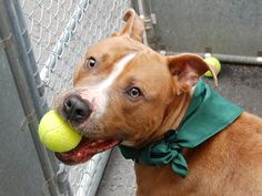 SAFE7/25/13 Manhattan BRIGGS A0971555 MALE TAN/WHITE PIT BULL MIX 3 yrs He's quiet, easy to handle, very obedient, affectionate, friendly to all he meets and as if that wasn't enough, he's an all-star athlete too! Briggs just loves to play Briggs is a playful, AVERAGE-rated three-year-old who deserves so much better than death!!! PLS help save his life tonite foster or Adopt now