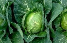 Fruit and Vegetable Gardening A-Z: Cabbage via @SparkPeople