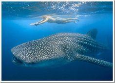 Mergulhar com baleias nas Filipinas                                                                                                                                                     Mais