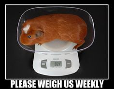 Good reminder to keep track of your piggy's weight and why. :) I need a new scale for my piggies :)