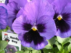 Fall planted Hardy Boy pansies give you 3 seasons of color- Fall, Winter & Spring!  http://www.hardyboyplant.com