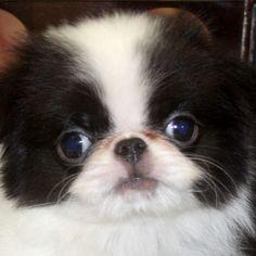 Japanese Chin Puppy ~