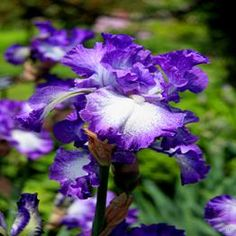 Perennial Plants Iris