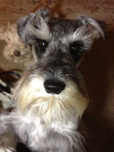 Sweet little mini schnauzer with a darling face and eyes to melt your heart❤.                           Zack*
