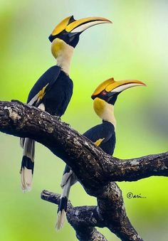The Great Indian Hornbill is native to India and SE Asia, threatened by habitat loss and hunting. World Birds, All Birds, Love Birds, Kinds Of Birds, Pretty Birds, Beautiful Birds, Animals Beautiful, Exotic Birds, Colorful Birds