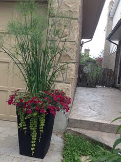 King Tut grass in the planter - a favourite
