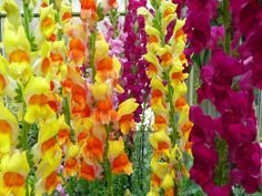 I was surprised by the bright and varied colors of snapdragons they had at the conservatories at Brookside Gardens. Here's a wallpaper with pink, orange and yellow snapdragons. Annual Flowers, Rare Flowers, Beautiful Flowers, Wild Style, Summer Flowers, Colorful Flowers, Snapdragon Flowers, Flowers Perennials, Antirrhinum