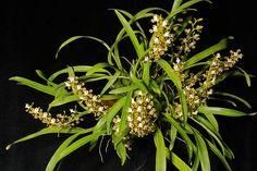 Solenediopsis tigroides 0499 | Flickr - Photo Sharing!