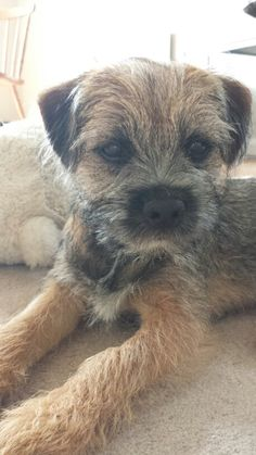 Cuter than cute...border terrier!