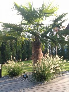 Photo palm tree Sierentz (Haut Rhin August 2014 Photo # 1045768 by mikelt Tropical Decor, Tropical Garden, Wild Grass, Mediterranean Garden, Photo Tree, Modern Landscaping, Balcony Garden, Stock Foto, Palm Trees