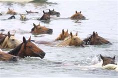 Chincoteague Island's wild horses, virginia