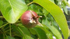 Nog even en dan kunnen wij de vruchten plukken #stadstuin #fruit Fruit, Pear, Apple, Blog, Apple Fruit, Blogging, Apples, Bulb