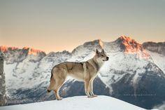 Czechoslovakian Wolfdog by grost76 via http://ift.tt/1PyOJ03