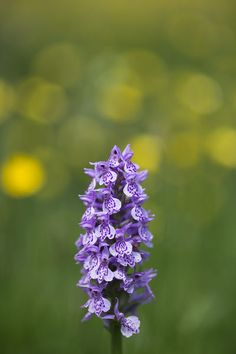 Photograph-England, Northumberland, Common Spotted Orchid-Photograph printed in the USA