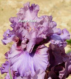 TB Iris germanica 'Ruby Haze' (Blyth, 2005)