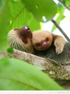 Mother and baby sloth. So cute.