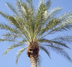 A nicely trimmed #palmtree in #maricopa #arizona. These are tough ass #trees. Saw a landscape crew struggle to cut a dead one down. #travelmemories #arizonadesert #debbieelicksen #desertlife #canadianinarizona #travel #travelersnotebook #travelgram