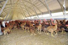 Selecciones Avícolas - Diversificación ecológica Camel, Fair Grounds, Animals, Types Of Chickens, Animales, Animaux, Camels, Animal, Bactrian Camel